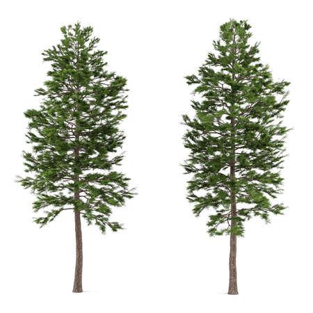pinus sylvestris: Tree pine isolated. Pinus sylvestris