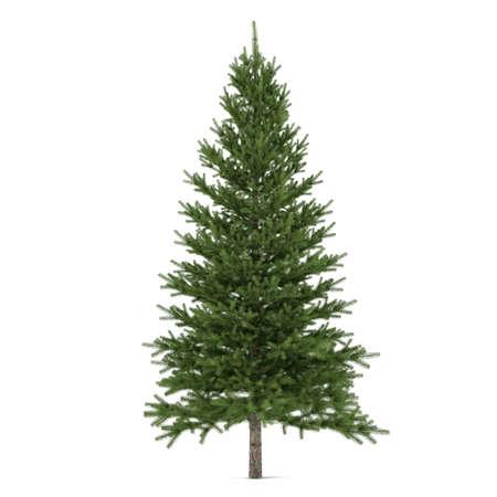 Tree isolated. Pinus fir-tree Stock Photo