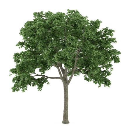 maple tree: Tree isolated. Ulmus
