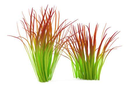imperata: Plant bush isolated. Imperata