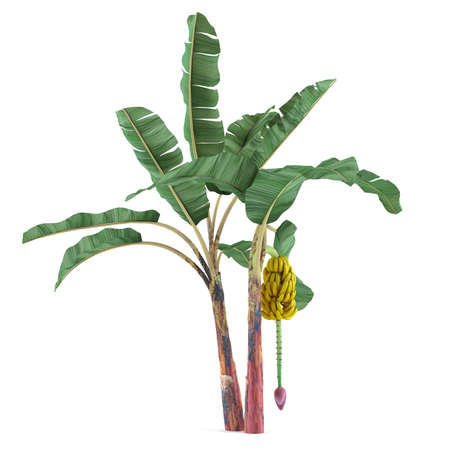 banana: Palm plant tree isolated. Musa acuminata banana Stock Photo