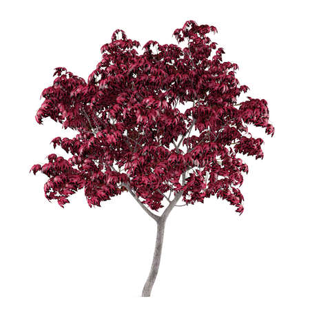 Tree isolated. Acer japonicum Stock Photo - 24755137