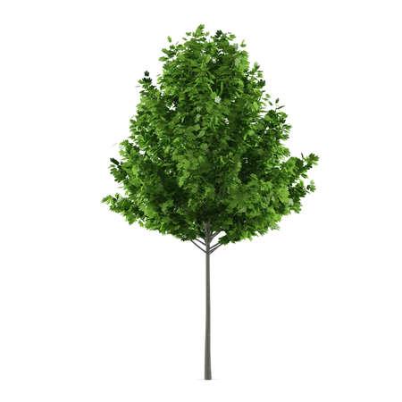 Tree isolated. Maple Acer rubrum Stock Photo - 24755159