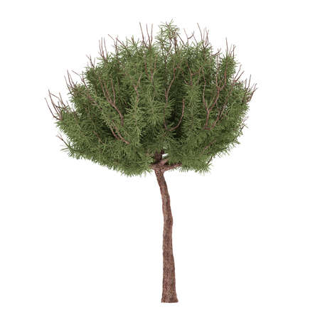 mugo: Plant tree. Pinus mugo isolated at the white background
