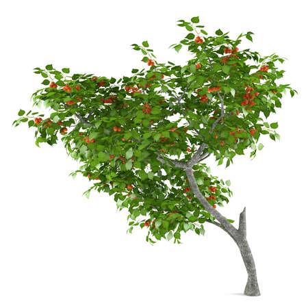 Fruit tree isolated. Prunus armeniaca Stock Photo