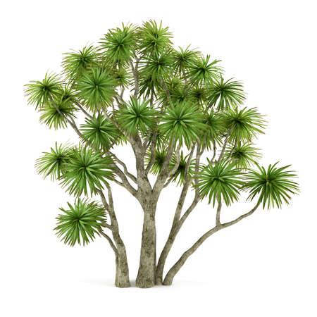 cordyline: Palm plant tree isolated. Cordyline australis
