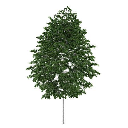 betula pendula: Tree isolated. Betula pendula isolated at the white background Stock Photo