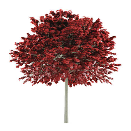 acer platanoides: Tree isolated. Acer platanoides red Stock Photo