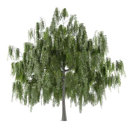 salix alba: Tree isolated. Salix alba isolated at the white background