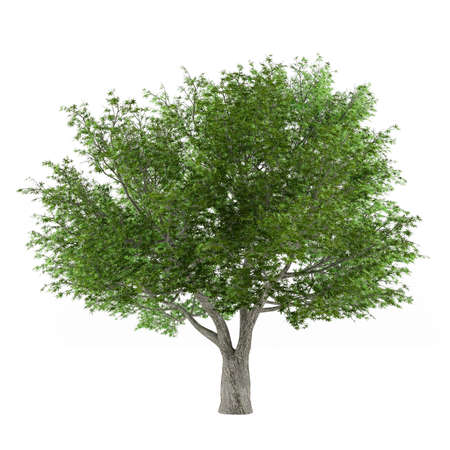 salix fragilis: Tree isolated. Salix fragilis isolated at the white background Stock Photo