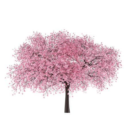 Japan tree sakura isolated. Prunus cerasus Stock Photo