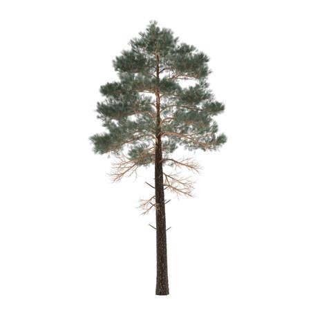 arbol de pino: Aislado pino �rbol. Pinus aislado en el fondo blanco Foto de archivo