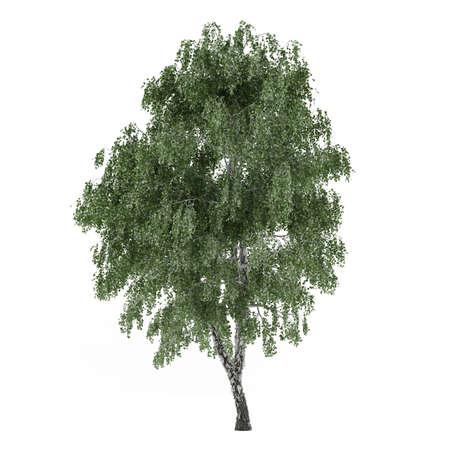betula: Tree isolated. Betula birch isolated at the white background