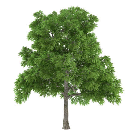 tree canopy: Tree isolated. Sassafras Stock Photo