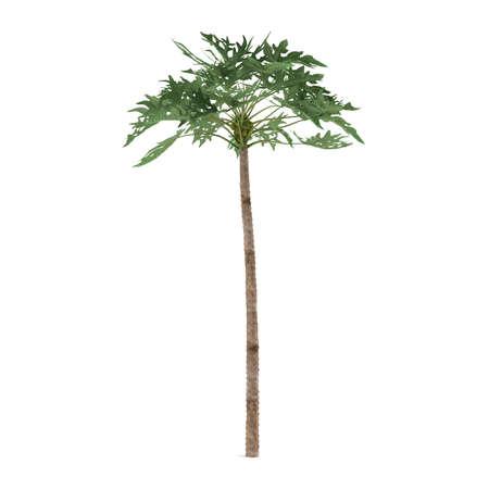 papaya tree: Palm plant tree isolated. Papaya Stock Photo