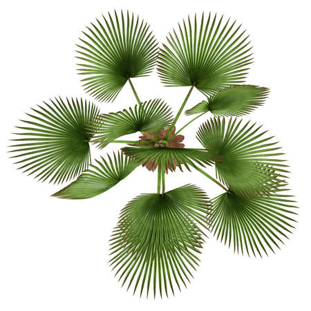 Palm plant. Trachycaprus fortunei top