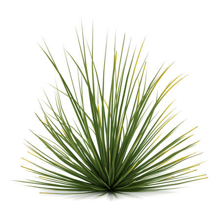 Plant bush isolated. Agave stricta Stock Photo