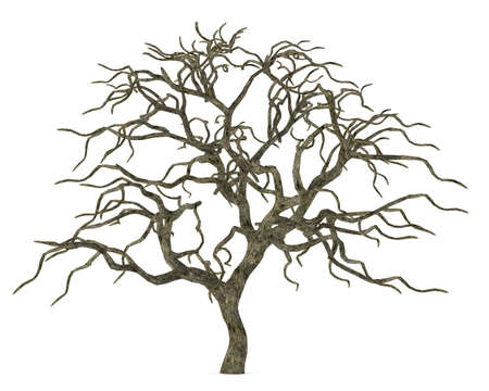 Dead tree without leaves isolated. Acer palmatum Stock Photo - 24755324