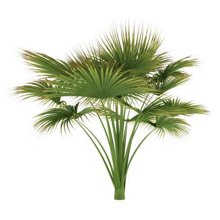 Palm tree isolated. Lodoicea maldivica Banco de Imagens - 24755330
