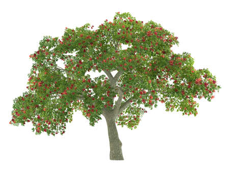 erythrina: Tree isolated. Erythrina