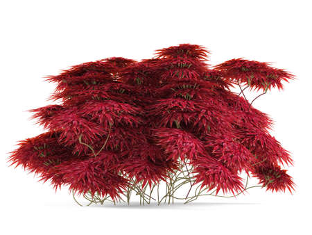 Plant bush with red leaves isolated. Banco de Imagens - 24756660