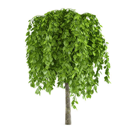 Tree with big leaves isolated photo