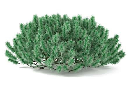 Decorative pine bush isolated