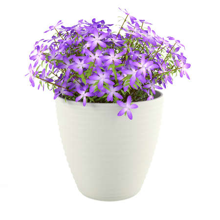 Violet flowers in the pot photo