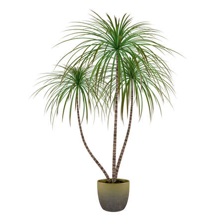 plant pot: Palm plant tree in the pot
