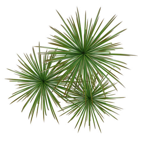 evergreen trees: Palm plant tree top Stock Photo