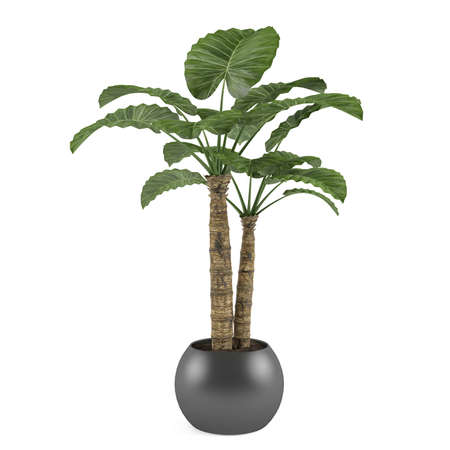 Decorative palm plant tree in the ball pot Stock Photo
