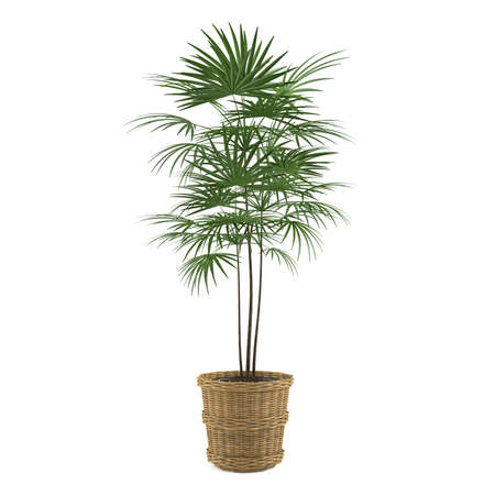 decorative palm in the pot at the white background Banco de Imagens - 24703074