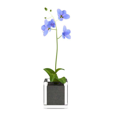Orchid blue flower in the pot at the white background photo