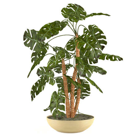 indoor garden: Palm plant in the pot at the white background Stock Photo