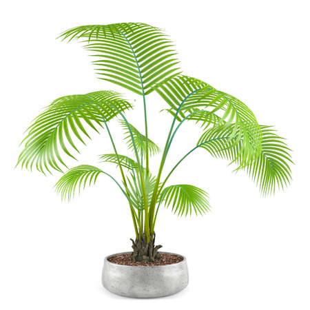 houseplant: palm plant tree in the pot at the white background