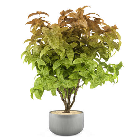 Exotic plant bush in the metal pot at the white background