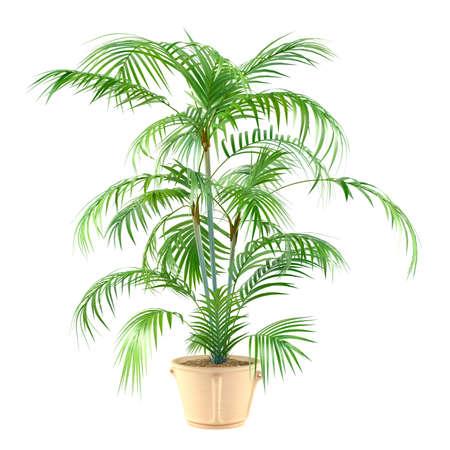 Palm Pflanze in den Topf auf dem weißen Hintergrund Standard-Bild - 24703444