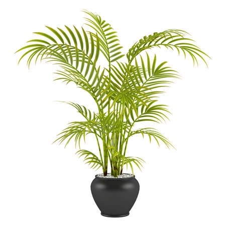 houseplant: palm in the pot at the white background
