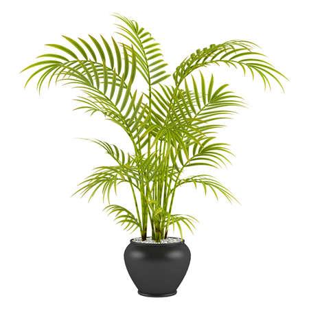 Palmier dans le pot à l'arrière-plan blanc Banque d'images - 24703865