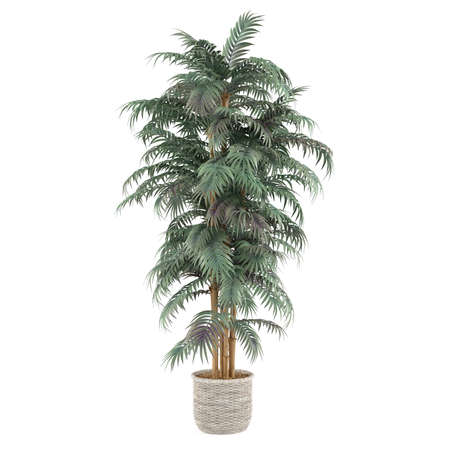 palm plant bamboo tree in the pot at the white background photo