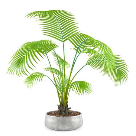 Palme Pflanze Baum im Topf auf dem weißen Hintergrund Standard-Bild - 24703896