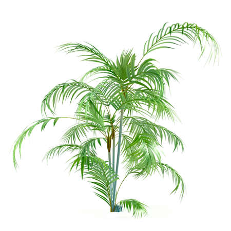 Palm plant tree isolated at the white background photo