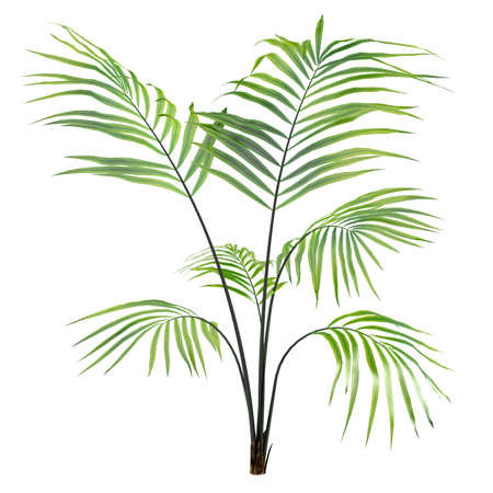 Palm plant tree isolated at the white background Stock fotó