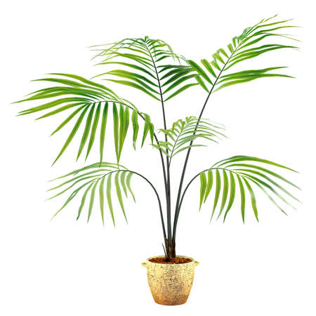 Palm plant in the pot at the white background Stock Photo