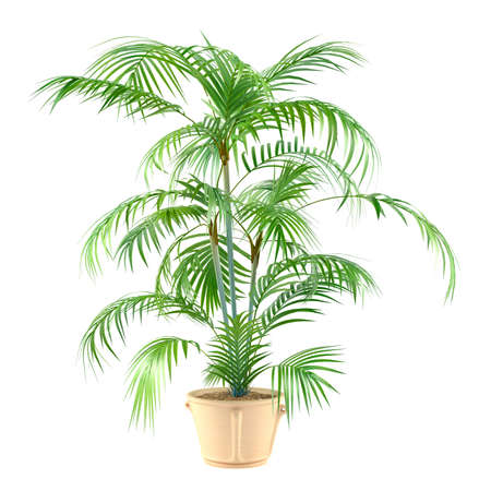 Palm plant in the pot at the white background Banco de Imagens - 24703908