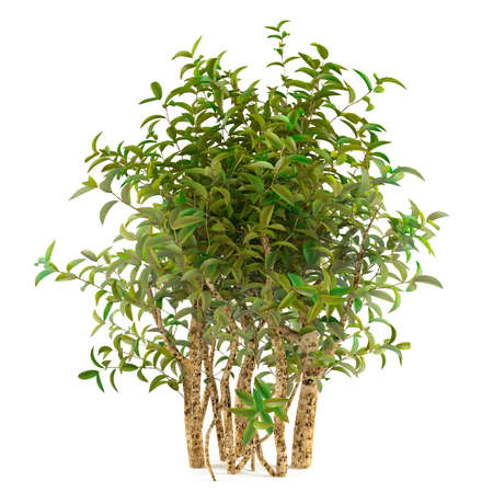 quercus robur: tree bush isolated at the white background
