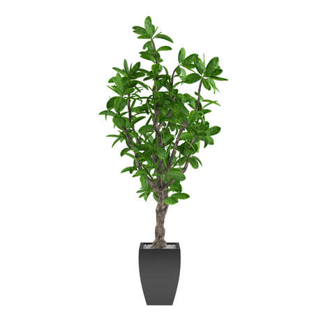 Plant tree in the pot at the white background Banco de Imagens - 24709951