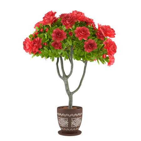 Red roses in the pot. Flowers at the white background