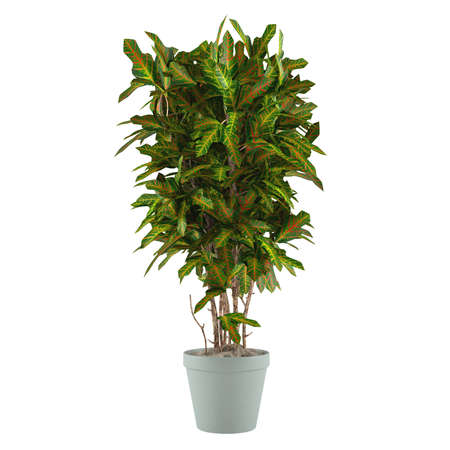 indoor garden: Decorative palm plant in the pot at the white background