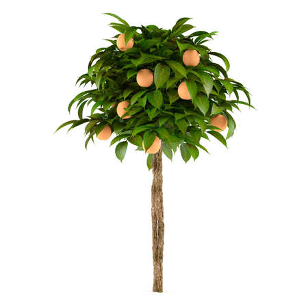 citrus lime plant tree at the white background
